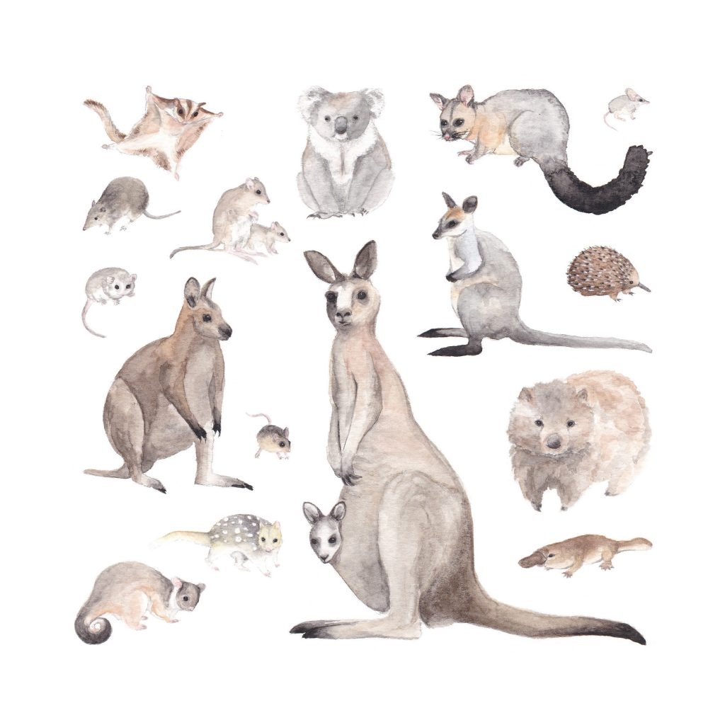 'Marsupials of Canberra' by Susannah Crispe