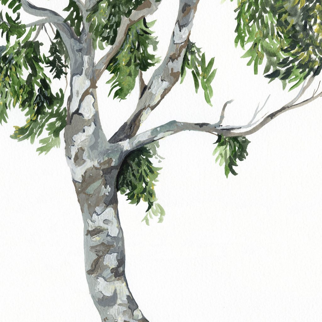 'The Book of Australian Trees - Spotted Gum' by Alicia Rogerson
