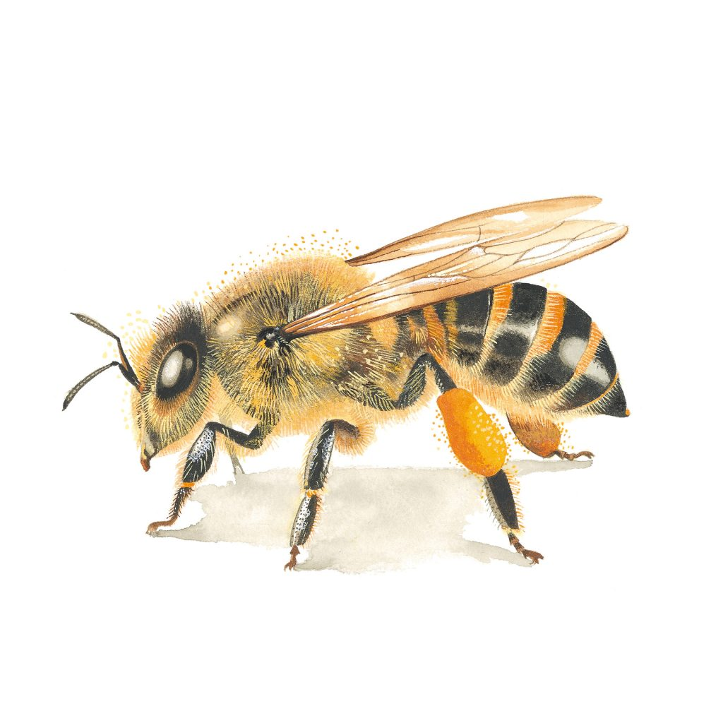'Honey Bee - Apis Mellifera' by Felicity Marshall
