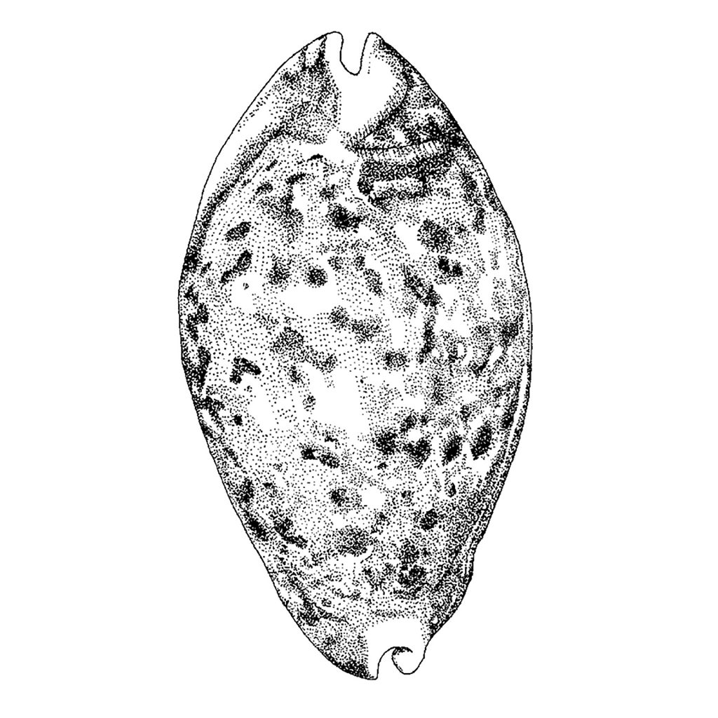 'Cowrie shell dorsal view' by Charmaine Cave
