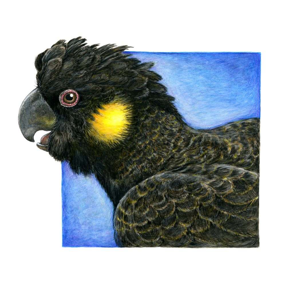 'Yellow Tailed Black Cockatoo' by Katrina Fisher