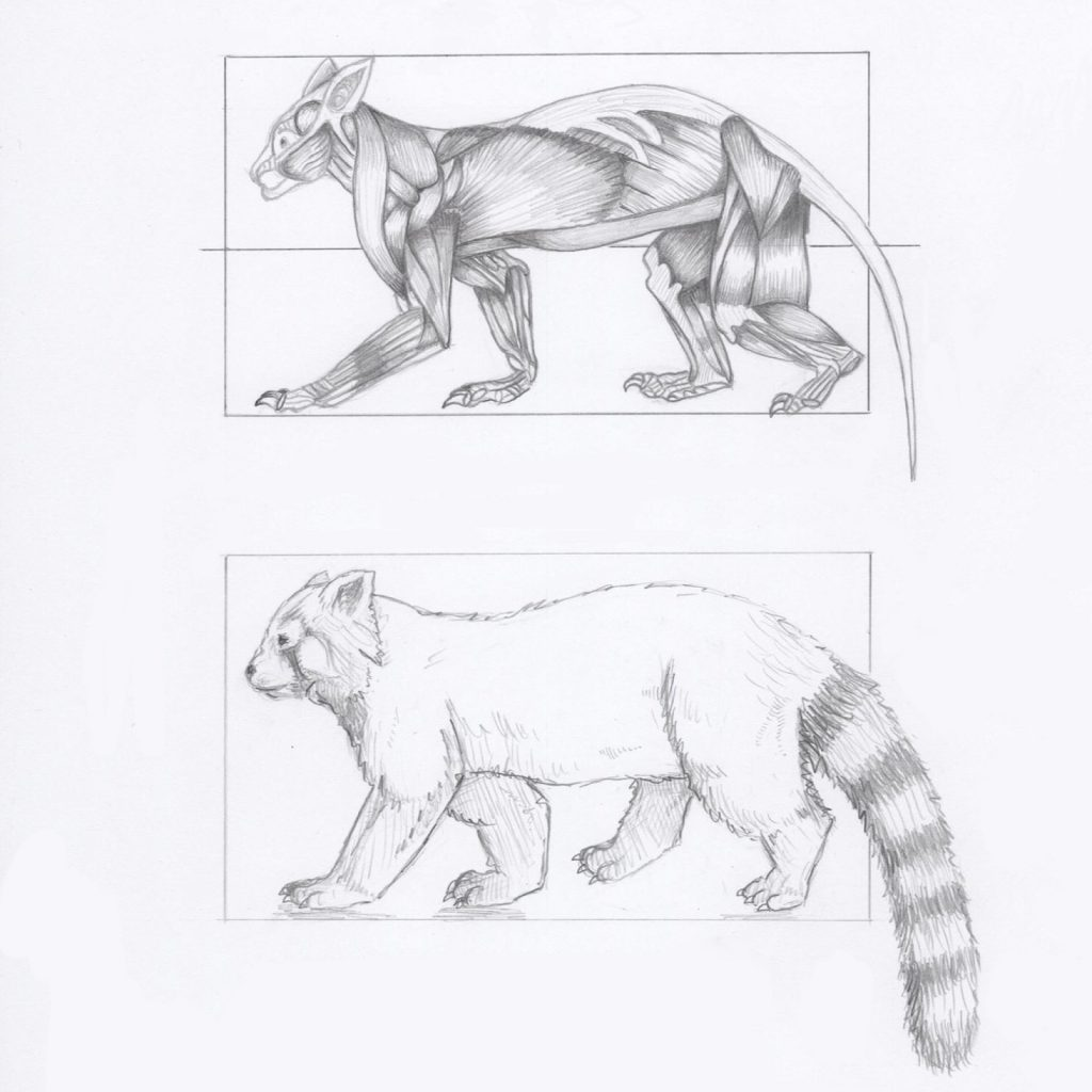 'Anatomy of a Red Panda' by Tig Beswick