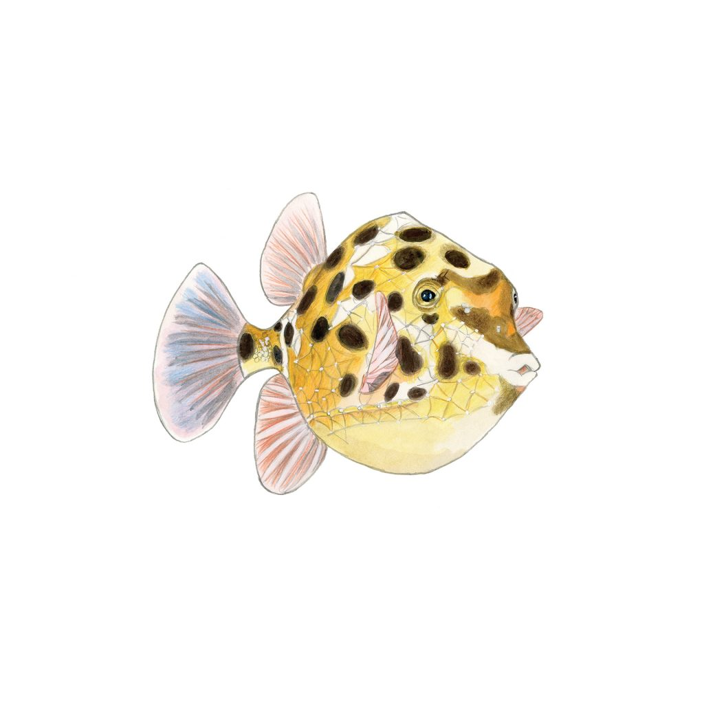 'Western Smooth Boxfish' by Charmaine Cave