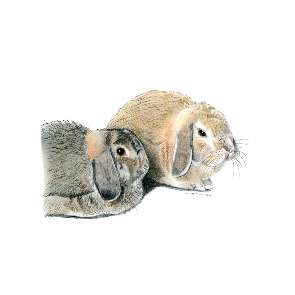 'Lop Bunnies' by Charmaine Cave